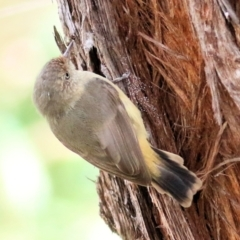 Acanthiza reguloides (Buff-rumped Thornbill) at Wodonga - 27 Mar 2021 by Kyliegw