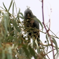 Callocephalon fimbriatum (Gang-Gang Cockatoo) at Wodonga - 27 Mar 2021 by Kyliegw