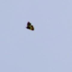 Unidentified Butterfly (Lepidoptera, Rhopalocera) (TBC) at Wodonga - 27 Mar 2021 by Kyliegw