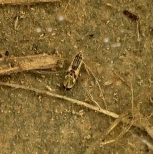 Notonectidae sp. (family) at Murrumbateman, NSW - 27 Mar 2021