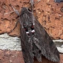 Agrius convolvuli (Convolvulus Hawk Moth) at Basin View, NSW - 25 Mar 2021 by Trishwildfire