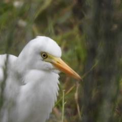 Ardea intermedia (Intermediate Egret) at Isobella Pond - 14 Mar 2021 by Liam.m