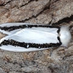 Oenosandra boisduvalii (Boisduval's Autumn Moth) at Mount Ainslie - 24 Mar 2021 by jbromilow50