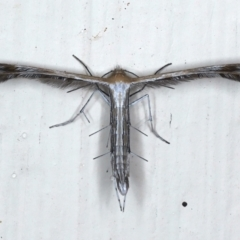 Stangeia xerodes (A plume moth) at Ainslie, ACT - 24 Mar 2021 by jbromilow50