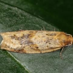 Merophyas divulsana (Lucerne Leafroller) at Melba, ACT - 23 Mar 2021 by kasiaaus