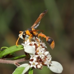 Delta bicinctum (Potter wasp) at ANBG - 26 Mar 2021 by TimL