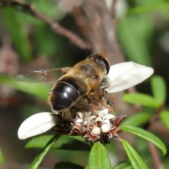 Eristalis tenax (Drone fly) at Acton, ACT - 26 Mar 2021 by TimL