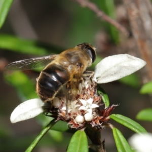 Eristalis tenax at ANBG - 26 Mar 2021