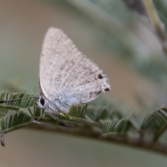 Jalmenus icilius (Amethyst Hairstreak) at Jedbinbilla - 17 Mar 2021 by SWishart