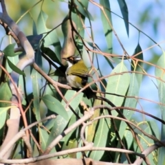 Melithreptus lunatus (White-naped Honeyeater) at Ewart Brothers Reserve - 27 Mar 2021 by Kyliegw
