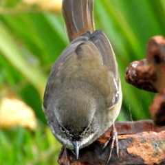 Sericornis frontalis (White-browed Scrubwren) at Crooked Corner, NSW - 26 Mar 2021 by Milly