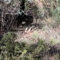 Vespula germanica at Dryandra St Woodland - 28 Mar 2021