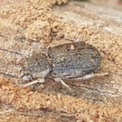 Cubicorhynchus sp. (genus) (TBC) at Holt, ACT - 28 Mar 2021 by tpreston