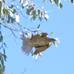 Oriolus sagittatus (Olive-backed Oriole) at Dryandra St Woodland - 27 Mar 2021 by ConBoekel