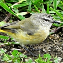 Acanthiza chrysorrhoa (Yellow-rumped Thornbill) at Crooked Corner, NSW - 26 Mar 2021 by Milly