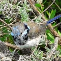 Malurus cyaneus (Superb Fairywren) at Crooked Corner, NSW - 26 Mar 2021 by Milly