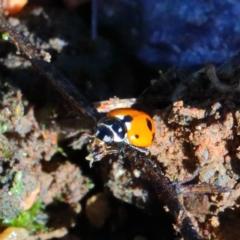 Hippodamia variegata (Spotted Amber Ladybird) at Dryandra St Woodland - 27 Mar 2021 by ConBoekel