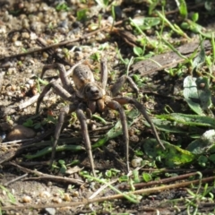 Tasmanicosa sp. (genus) (Unidentified Tasmanicosa wolf spider) at Point Hut to Tharwa - 27 Mar 2021 by SandraH