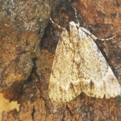 Spectrotrota fimbrialis (A Pyralid moth) at Ginninderry Conservation Corridor - 28 Mar 2021 by tpreston