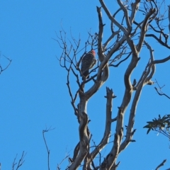 Callocephalon fimbriatum (Gang-gang Cockatoo) at Woodstock Nature Reserve - 27 Mar 2021 by wombey