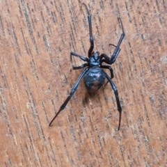 Latrodectus hasselti (Redback Spider) at Isaacs, ACT - 28 Mar 2021 by Mike
