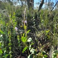 Veronica perfoliata (Digger's Speedwell) at Karabar, NSW - 19 Oct 2020 by Cherrytrees