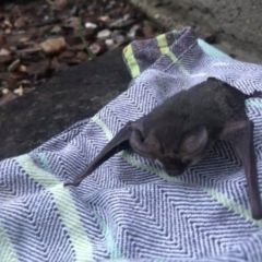 Nyctophilus sp. (genus) (A long-eared bat) at Michelago, NSW - 28 Mar 2021 by LisaH