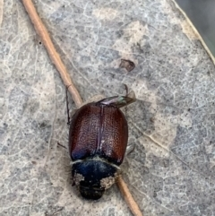 Liparetrus sp. (genus) (Chafer) at Murrumbateman, NSW - 27 Mar 2021 by SimoneC