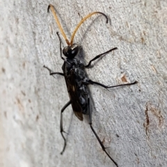 Fabriogenia sp. (genus) (Spider wasp) at Murrumbateman, NSW - 27 Mar 2021 by SimoneC