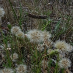 Vittadinia sp. (Fuzzweed) at Flea Bog Flat, Bruce - 20 Mar 2021 by JanetRussell