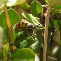Vespula germanica (European wasp) at Hume, ACT - 28 Mar 2021 by RodDeb