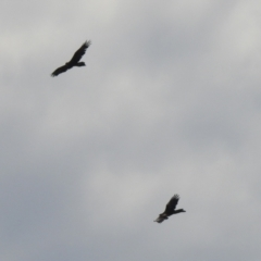 Aquila audax (Wedge-tailed Eagle) at Hume, ACT - 28 Mar 2021 by RodDeb