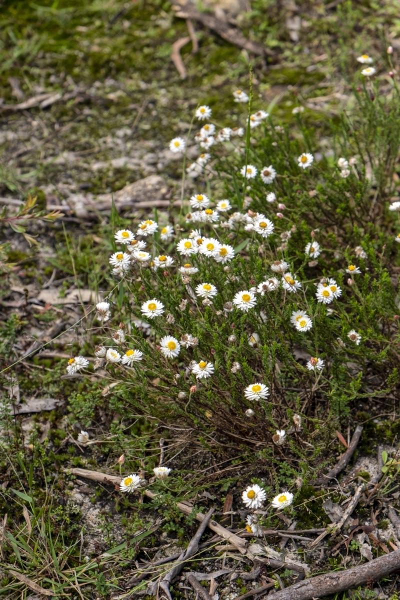 Helichrysum calvertianum at Woodlands, NSW - 27 Mar 2021