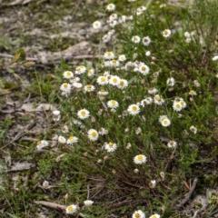 Helichrysum calvertianum (Everlasting Daisy) at Woodlands, NSW - 26 Mar 2021 by Aussiegall
