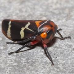 Eurymeloides pulchra at ANBG - 28 Mar 2021