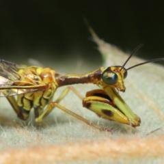 Spaminta minjerribae (Mantisfly) at Downer, ACT - 28 Mar 2021 by TimL
