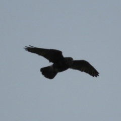 Falco berigora (Brown Falcon) at Kosciuszko National Park - 26 Mar 2021 by MatthewFrawley