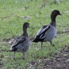 Chenonetta jubata (Australian Wood Duck) at Belvoir Park - 28 Mar 2021 by PaulF