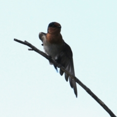 Hirundo neoxena (Welcome Swallow) at Belvoir Park - 28 Mar 2021 by PaulF