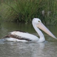 Pelecanus conspicillatus (Australian Pelican) at Belvoir Park - 28 Mar 2021 by PaulF