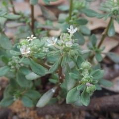 Poranthera microphylla (Poranthera) at Tidbinbilla Nature Reserve - 11 Feb 2021 by michaelb