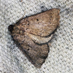 Amelora anepiscepta (Reddish Cape-moth) at O'Connor, ACT - 28 Mar 2021 by ibaird