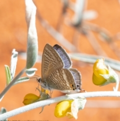 Lampides boeticus (Long-tailed Pea-blue) at ANBG - 29 Mar 2021 by Roger