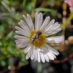 Homalictus punctatus (A halictid bee) at Harrison, ACT - 26 Mar 2021 by DPRees125