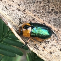 Aporocera (Aporocera) consors at Dryandra St Woodland - 28 Mar 2021