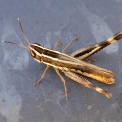Macrotona australis (Common Macrotona Grasshopper) at Rugosa at Yass River - 29 Mar 2021 by SenexRugosus