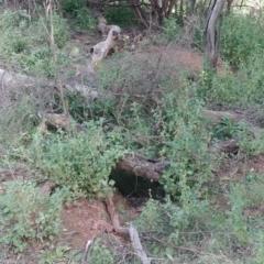 Oryctolagus cuniculus (European Rabbit) at Mount Majura - 29 Mar 2021 by Avery