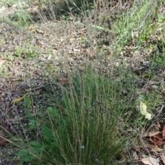 Austrostipa scabra (Corkscrew Grass) at Majura, ACT - 28 Mar 2021 by Avery