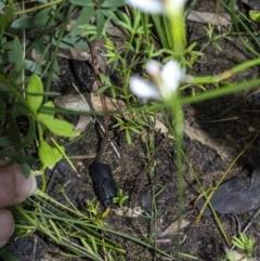 Eriochilus cucullatus at Bundanoon - 29 Mar 2021
