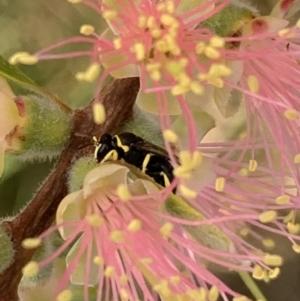 Hylaeus (Gnathoprosopis) euxanthus at Murrumbateman, NSW - 27 Mar 2021